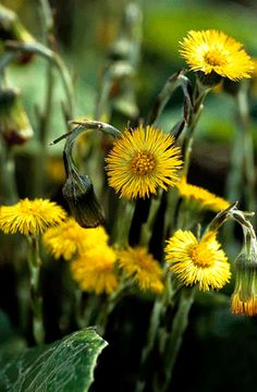 Colt's Foot (Tussilago farfara). A ray of sun after the dark days of winter. Unusually the leaves appear after the flower and are said to be shaped like a hoof of a colt - hence this wild flowers' name. Colt's-foot © Lliam Rooney. More: http://www.plantlife.org.uk/wild_plants/plant_species/colts-foot