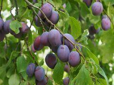 Íme, hogyan kell megmetszenünk a gyümölcsfákat nyáron, hogy elősegítsük a szebb termés kifejlődését és gátat szabjunk a fa túlzott növekedésének!
