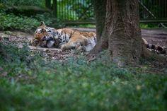 Cochilo de tigre visto durante percurso no Zoo Safári, de São Paulo