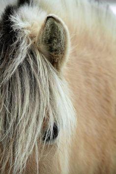 """""""Blonde"""" by Odd Jeppesen, photograph of Norwegian fjord #horse"""
