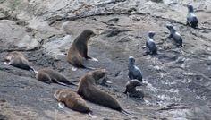 New Zealand Fur Seals, Native to the wilderness of Doubtful Sound. www.doubtfulsound.com New Zealand Travel, Cruises, Seals, Wilderness, My Photos, Waterfall, Southern, Australia, Fur