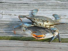 Blue Crab caught on Mobile Bay to go in my steamer.