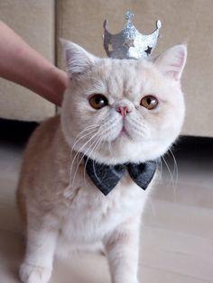 かわいさ悶絶級! 小さな王子様キャット マッシュ(猫・♂)