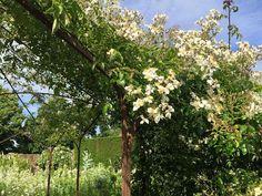 Rosa  mulligannii duftet berauschend und ist eine echte Bienen-Weide. Mit ihren einfachen Blüten in grossen schnee-weissen Rispen verwandelt diese mächtige Rambler-Rose überall wo sie gepflanzt wird Bäume oder Pergolen in Blüten-Berge. Sie ist zwar nur einmal blühend aber unglaublich vital. Mühelos kann sie die Höhen von über 700 cm erklimmen. Das Bild verdanken wir Sissinghurst Castle - National Trust.