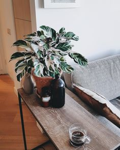 Calathea White Fusion looking all lush! Planting Succulents, Potted Plants, Planting Flowers, House Plants Decor, Plant Decor, Lush, Calathea, Little Plants, Outdoor Plants