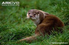 Google Image Result for http://cdn1.arkive.org/media/5B/5BA0B801-791C-4DEB-884A-9E4EBE2DF63F/Presentation.Large/Common-otter-on-grass.jpg