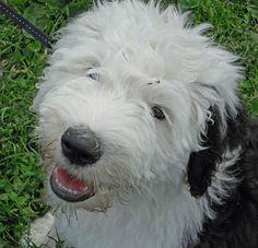 old english sheepdog photo | Wellington the Old English Sheepdog | Puppies | Daily Puppy