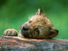 Baby wolf on imgfave