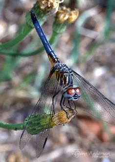Dragonfly on Dandelion (by Glenn Anderson) Dragonfly Insect, Dragonfly Wings, Gossamer Wings, Butterfly Dragon, Monarch Butterfly, Butterfly Kisses, Butterflies, Beautiful Bugs, Animal Totems