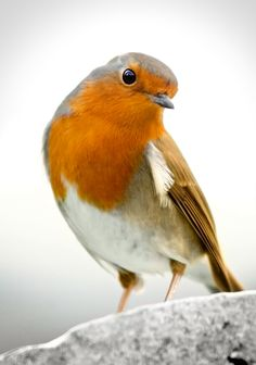 European Robin by Antonio Martin Cute Birds, Pretty Birds, Small Birds, Little Birds, Colorful Birds, Beautiful Birds, Animals Beautiful, Cute Animals, Robin Bird