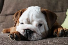 bulldog-puppy-2__605