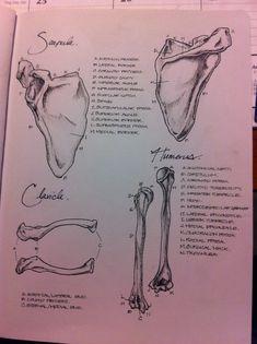 Anatomy notes - Imgur