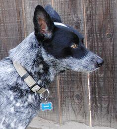 Queensland Heeler Border Collie mix | Good Dogs ...