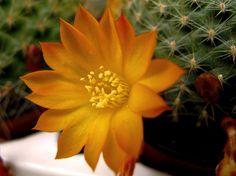 Cactus de flor más populares y otros consejos | Cuidar de tus plantas es facilisimo.com