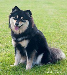 Infindigo Mailat Ulla JW - September 2016 Husky, September, Puppies, Dogs, Animals, Animaux, Doggies, Animal, Animales