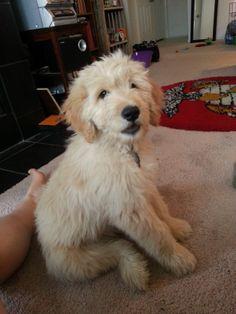 Bella, my goldendoodle / muppet