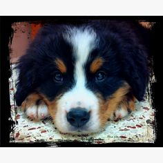 Burnese Mountain Pup