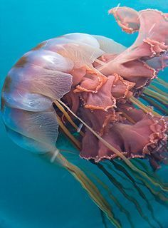 Giant Jellyfish with diver approaching - Sheesh I wouldn't wanna ...