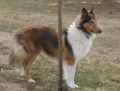 Six Pense Farm's Tag-a-long sable boy | Old-Time Scotch Collie Pedigree Database