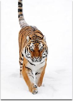 Image of a Siberian Tiger in the snow