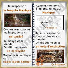 Loup du Mexique (Canis lupus baileyi)