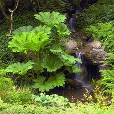 Create Drama with Plants-Big, bold Gunnera is at home by a wooded stream and waterfall, adding drama and dimension to this garden vignette. Brian uses the oversize perennial -- it grows to 8 feet tall and 12 feet wide -- to alter the scale of things, sort of like adding a skyscraper to a cityscape. Astilbes and skunk cabbage enhance the scene with their foliage