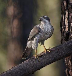 Northern Goshawk - #Birds #Goshawk