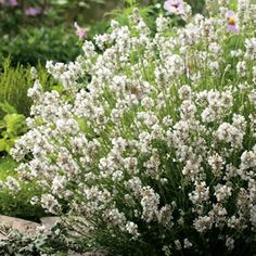 Lavandula dentata Pure Harmony (White French Lavender) has creamy white flowers in mid spring to summer. Lavenders prefer a full sun to part shade position and are excellent for the hot and dry a...