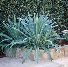 Beschorneria yuccoides = abundant sword like leaves + an exotic beauty in the garden. Landscape Architecture, Landscape Design, Garden Design, Sydney Gardens, Cactus, Sunken Garden, Exotic Beauties, Balcony Garden, Sword