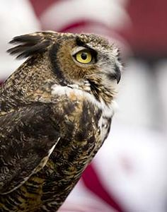 A university confines a live owl during football games to act as a mascot. This great horned owl does not deserve to be kept in captivity just to act as…
