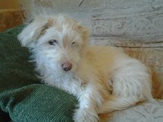 Juan is a 4 month old male Cross-Breed. He is paper trained and he is fine with the other dogs and as a puppy. He is very playful. He weighs 3.2 kilo, maximum of 7-9 kilo when fully grown. He is paper trained and learning fast. He sleeps in a crate at night, from 10.30 till 7 am. His cage is dry the next morning. During the day the cage door is left open and he goes in when he wants to rest.