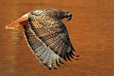 Red-tailed Hawk in flight over a river reflecting autumn foliage color Beautiful Birds, Beautiful Pictures, Red Tailed Hawk, Brown Trout, Cute Owl, Birds Of Prey, Beautiful Creatures, Animal Photography, Cute Animals