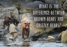 Trivia Tuesday: What is the difference between brown bears and grizzly bears? Get it right, win an AU sticker! #alaska #bears #contest