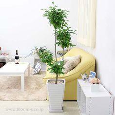 珍しい1本朴タイプのベンジャミン。おしゃれにカットされたベンジャミンは、インテリアとしてもぱっと目に入ってきます。ベンジャミンの花言葉は、家族の絆、夫婦愛 http://www.bloom-s.co.jp/fs/bloomingscape/g8-benzyasw1  #観葉植物 #インテリア #ベンジャミン #foliageplant #interior #plants #benzyamina