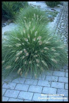 Pennisetum alopecuroides 'Hameln': a gorgeous fountain grass for the sunny side of the garden. The flowers are really pretty and won't make you think of swamps. Garden S, Raised Garden Beds, Garden Plants, Back Gardens, Outdoor Gardens, Fountain Grass, Small Fountains, Ornamental Grasses, Landscaping