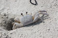 Can't wait to see how my kids react to these crabs at the beach next summer.  Corolla Beach, NC