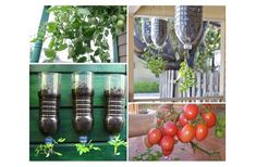 Plant and Harvest your own ORGANIC Tomatoes without toxins and space using a bottle of 2 liters only! Small Tomatoes, Growing Tomatoes, Rotten Tomatoes, Bottle Garden, Tomato Plants, Water Plants, Fresh Fruit, Vegetable Garden, Harvest