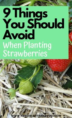 Make sure that you avoid these 9 things this year when planting your strawberries! - When you plant your strawberries this year, make sure that you AVOID these 9 things… This will ensure a larger, better harvest this summer! Strawberry Plant Care, Strawberry Bush, Strawberry Planters, Strawberry Garden, Small Vegetable Gardens, Veg Garden, Fruit Garden, Edible Garden, Vegetable Gardening