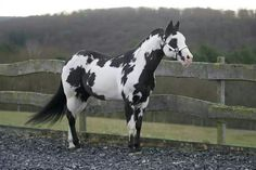 This is rainstorm everyone calls him Rain he is a savage he is a cool horse,mare chase after him because he one of the most popular stallions in the herd he has no mate and he is currently looking