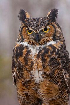 Great horned owl, Minnesota