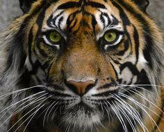 Google Image Result for http://2.bp.blogspot.com/_N_mOB63qPaE/Sptq5JB8ykI/AAAAAAAAKDg/Vp65RPDuJP0/s400/tiger.jpg