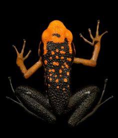 *An endangered Silverstone's poison frog (Ameerega silverstonei)