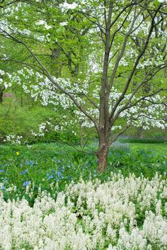 Cornus florida, Mertensia virginica and Tiarella cordifolia create a natural white flowering border garden that could be used in more shade prone locations on site. Love Garden, Shade Garden, Dream Garden, Garden Plants, Beautiful Gardens, Beautiful Flowers, Virginia Bluebells, Dogwood Trees, Garden Pictures
