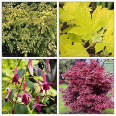 Burgundy and Gold Plant Combo for Afternoon Shade. Follow the link to get the full list of plants included in this planting combination! http://flwr.pt/8e8rf/0