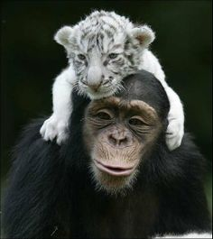 Baby white tiger and chimpanzee; so cute!