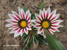 While a few varieties originate in tropical Africa, most Gazanias are indigenous to South Africa. The Gazania is ideal for the waterwise garden. The plants always look good, but come into their own during the summer months when they flower continuously. Landscaping Ideas, Garden Landscaping, Water Wise, Summer Months, Garden Plants, South Africa, Garden Design, Garden Ideas, Tropical
