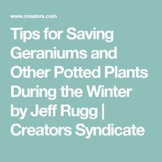 Tips for Saving Geraniums and Other Potted Plants During the Winter by Jeff Rugg | Creators Syndicate