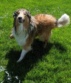 SCOTTISH COLLIE PRESERVATION SOCIETY is a 501 Non-Profit organization with clear goals working towards the preservation of the Classic Scottish Collie of the late standards. Scotch Collie, Sheltie, Livestock, Corgi, Puppies, Water, Water Water, Corgis, Puppys