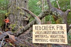 TJ Watt with sign identifying the Red Creek Fir, world's largest Douglas Fir, near Port Renfrew, Vancouver Island, BC