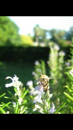 Romero abeja